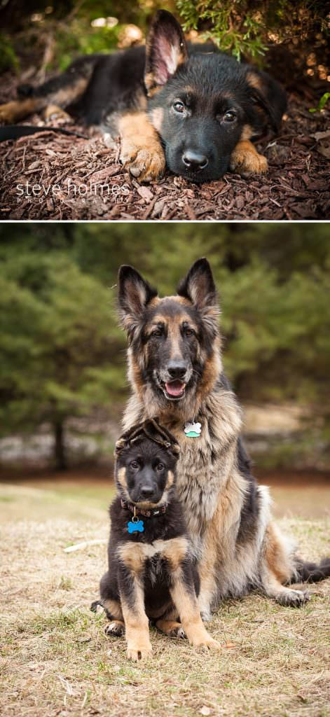 German Shepherds- Puppy and older dog