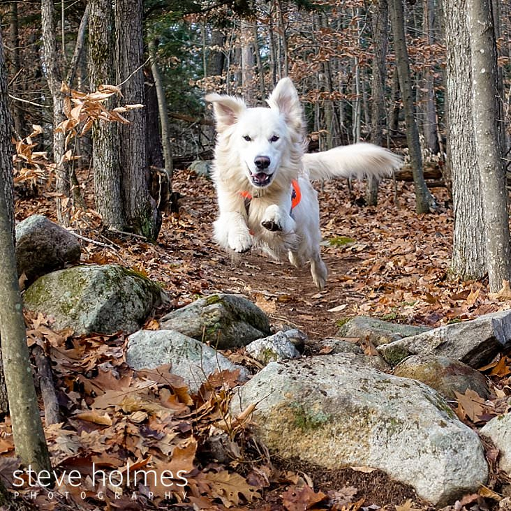 Running dog leaps over stonewall